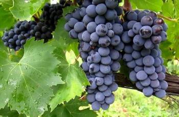 Sabia que comer uvas ajuda na prevenção do Câncer?