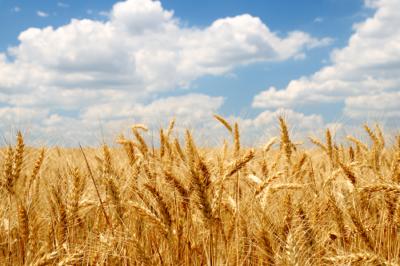 porque você deveria parar de comer trigo