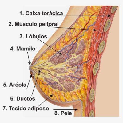 desenho da anatomia do seio feminino